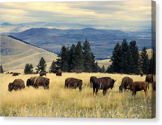 Hearts Canvas Print - National Parks Bison Herd by Adam Shaw