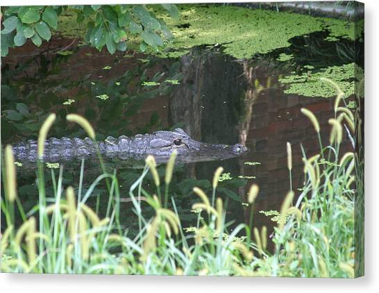 Alligator Canvas Print - National Zoo - Alligator - 12121 by DC Photographer