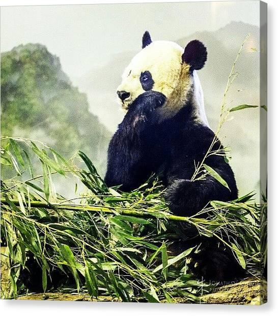 Panda Canvas Print - #nationalzoo #dc #panda #all_shots by Jonathan Chu