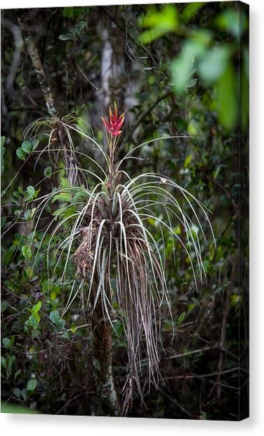 Bromeliad Canvas Print - Native Epiphyte by W Chris Fooshee