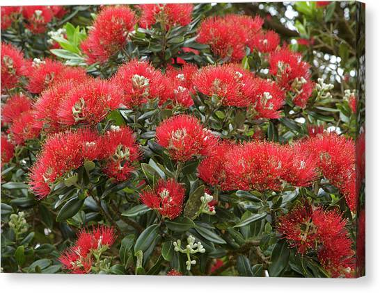 Native Pohutukawa Flowers (metrosideros Canvas Print by David Wall