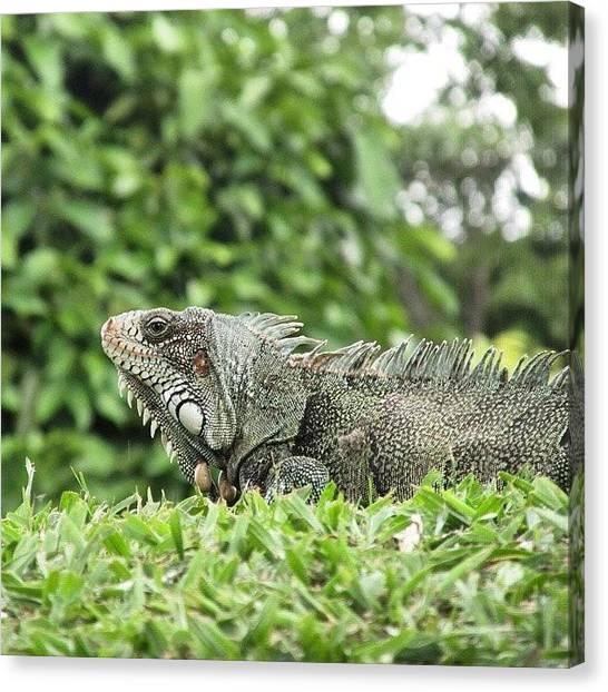 Iguanas Canvas Print - #nature #belem #amazonia #amazon by Barbara Pracek