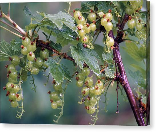 Wild Berries Canvas Print - Nature Berries by Anonymous