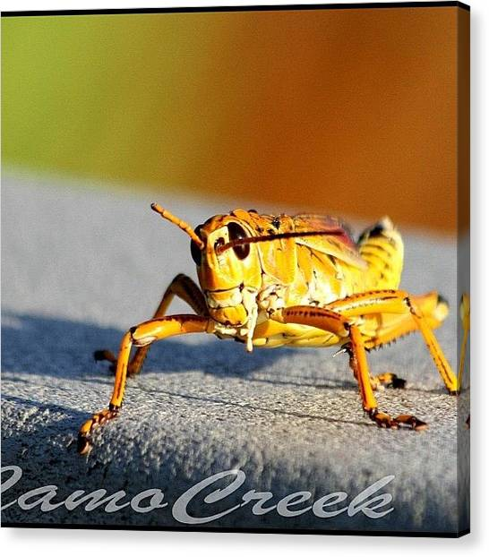 Grasshoppers Canvas Print - #nature #natural #grasshopper by Lisa Yow