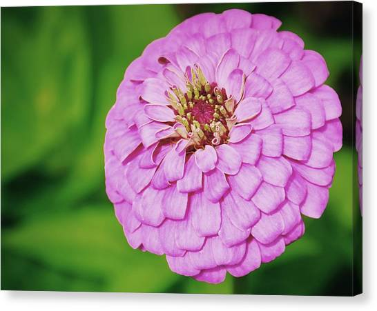 Nature's Boutonniere Canvas Print by JAMART Photography