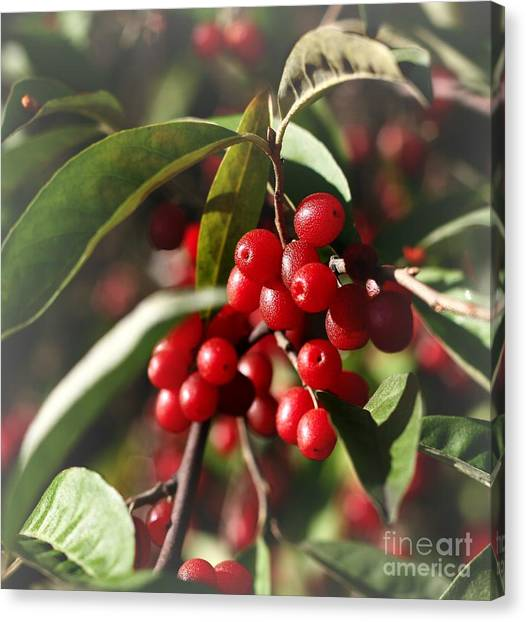Natures Gift Of Red Berries Canvas Print