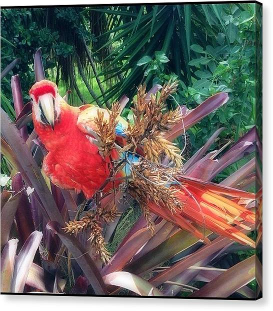 Parrots Canvas Print - Naughty Parrot #parrot #webstagram by Alex Portman