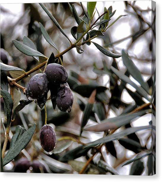 Nazareth Olives Israel Canvas Print
