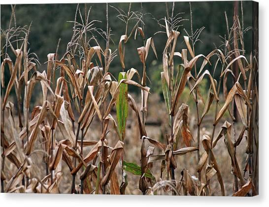 Neball Corn Field Canvas Print