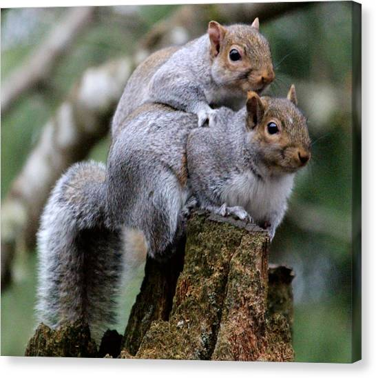 Fifty Shades Of Gray Squirrel Canvas Print