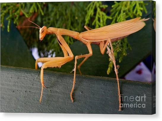 Neighborly Mantis Canvas Print