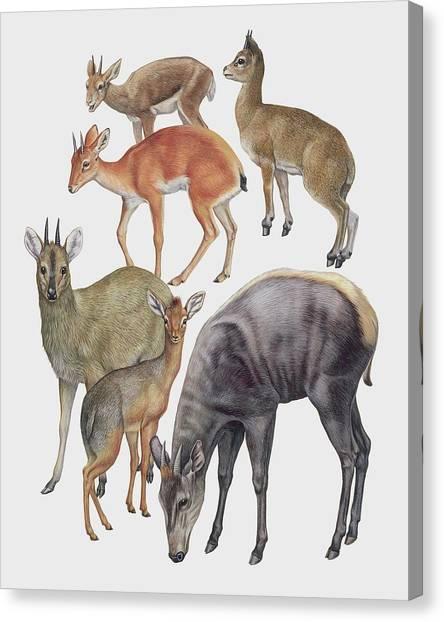 Neotraginae Mammals Canvas Print by Deagostini/uig/science Photo Library