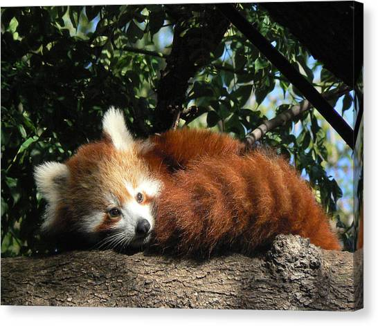Nepalese Red Panda Canvas Print