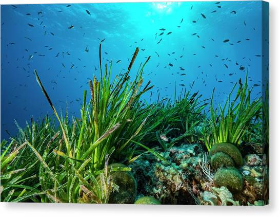 Seagrass Canvas Print - Neptune Grass (posidonia Oceanica) On Reef by Alexis Rosenfeld/science Photo Library