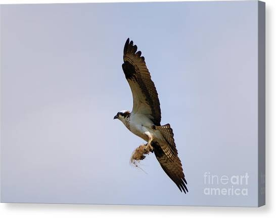 Osprey Canvas Print - Nest Builder by Mike  Dawson