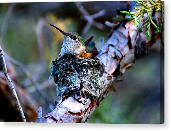 Nesting Hummingbird Canvas Print