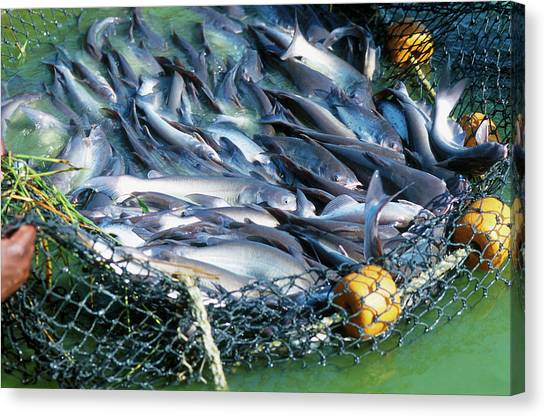 Catfish Canvas Print - Netted Catfish by Peggy Greb/us Department Of Agriculture/science Photo Library