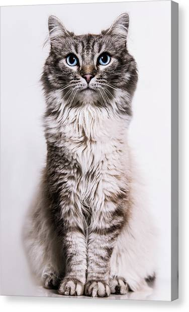 Neva Masquerade Cat In The Studio Canvas Print by Kevin Vandenberghe