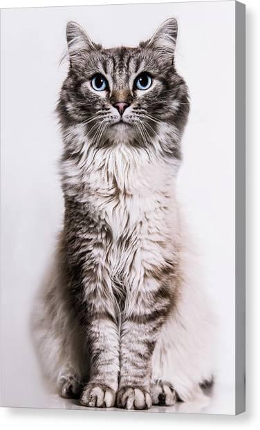 Neva Masquerade Cat In The Studio Canvas Print