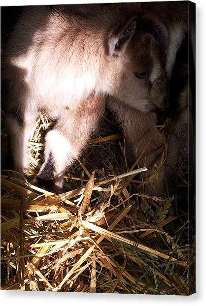 New Born Baby Goat Canvas Print by Nickolas Kossup