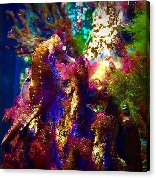 Seahorses Canvas Print - New England Aquarium 12/1/2014 Trying by Kerri Ann Crau