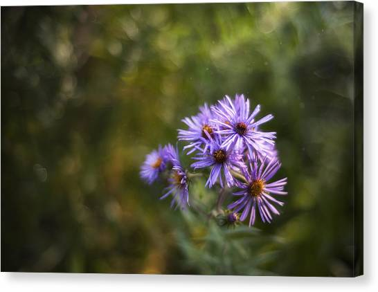Rain Drops Canvas Print - New England Asters by Scott Norris