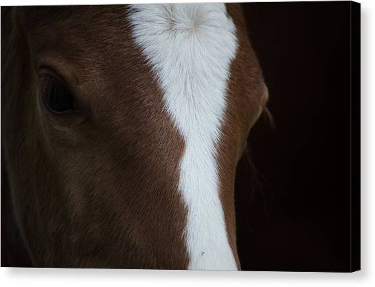 New Filly Canvas Print by Kelly Kitchens