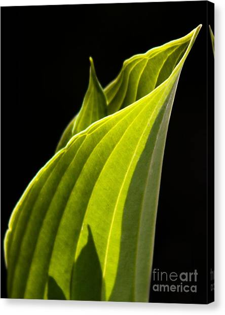 New Hosta Canvas Print