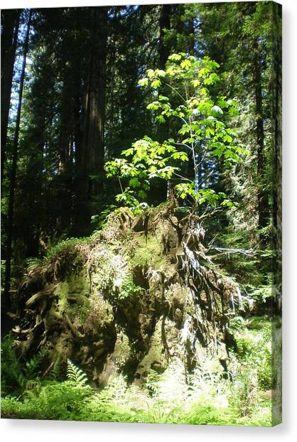 New Life For Old Stump Canvas Print