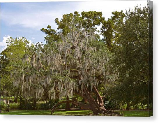 Oak Canvas Print - New Orleans Spanish Moss by Christine Till