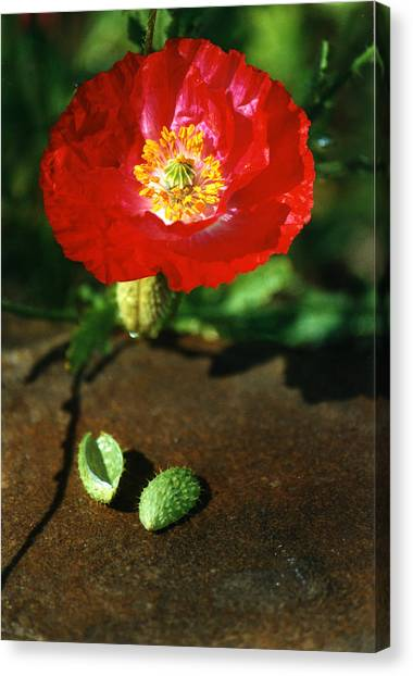 New Red Poppy Canvas Print