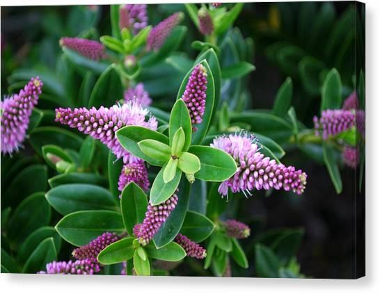 New Zealand Hebe Flower Canvas Print