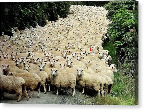Farming Canvas Print - New Zealand Traffic Jam by Yair Tzur