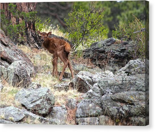 Newborn Elk Calf Canvas Print