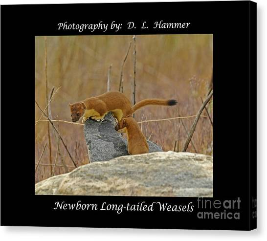 Newborn Long-tailed Weasels Canvas Print by Dennis Hammer