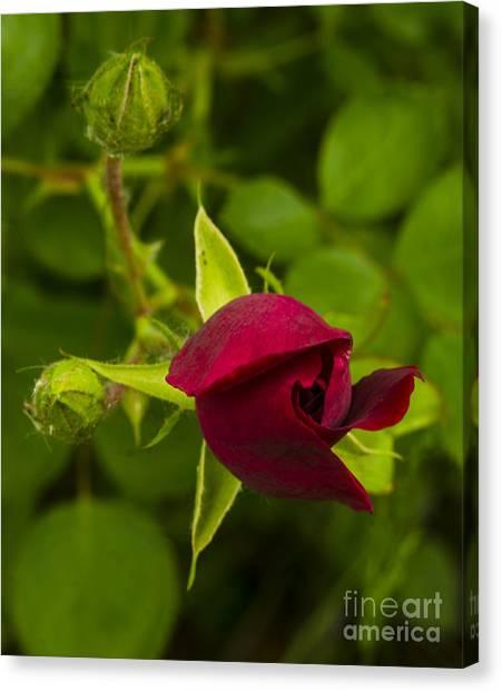 Newly Budding Rose Canvas Print by Deborah Smolinske