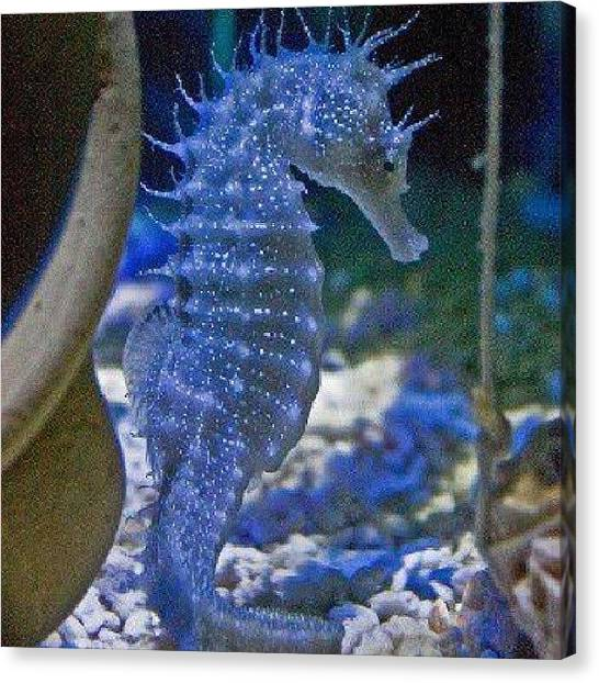 Seahorses Canvas Print - Next Year I Want A Baby Seahorse Been by Brandon Fisher