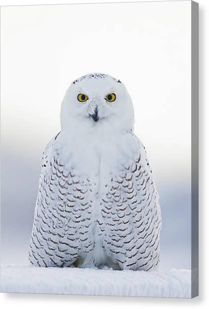 Nh Seacoast Snowy Owl  Canvas Print