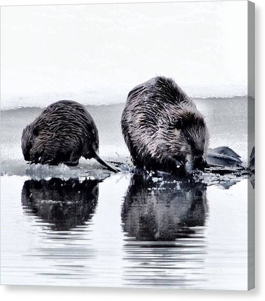 Beavers Canvas Print - Nice #beaver by Lisa King