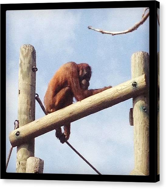 Orangutans Canvas Print - Nice Day For The #comozoo by Marie Lauten