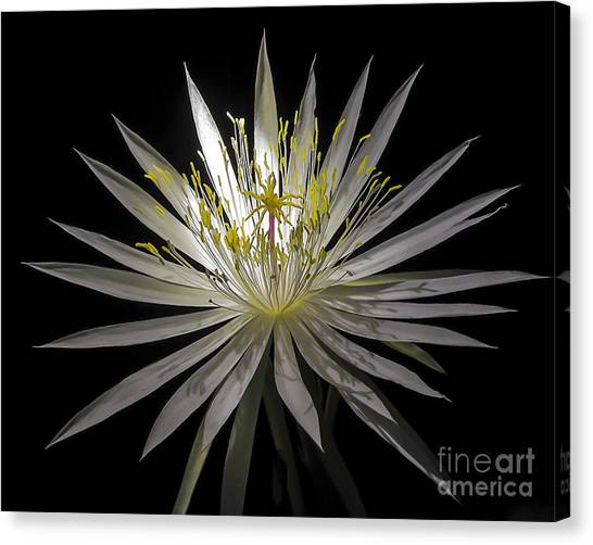 Night-blooming Cereus 1 Canvas Print