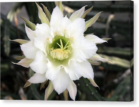 Night Blooming Cereus 2 Canvas Print