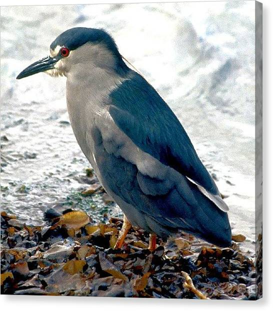 Metallic Canvas Print - Night Heron - Falkland Islands by Tony Webb