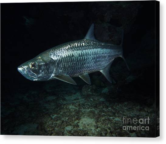 Coral Reefs Canvas Print - Night Tarpon by Carey Chen