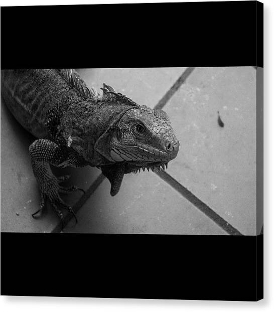 Iguanas Canvas Print - #nikkor #nikon #d3100 #lightroom by Luiz Lee