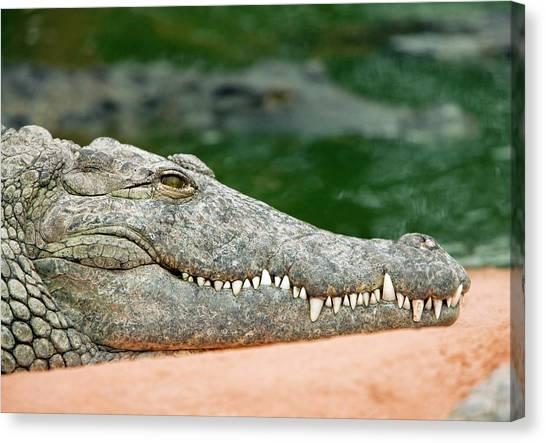 Crocodiles Canvas Print - Nile Crocodile by Pascal Goetgheluck/science Photo Library