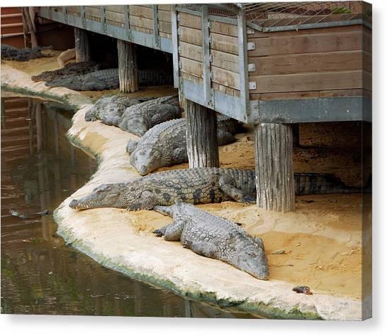 Crocodiles Canvas Print - Nile Crocodiles At A Crocodile Farm by Pascal Goetgheluck/science Photo Library