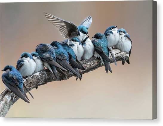 Swallow Canvas Print - No Room? No Problem. I Will Make Myself Some Room. by Cheng Chang