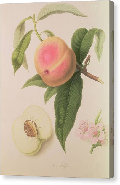 Fruit Trees Canvas Print - Noblesse Peach by William Hooker