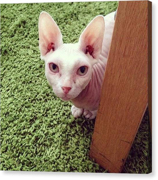 Sphynx Cats Canvas Print - #noonoobeans Chilling On Her New Rug by Samantha Charity Hall